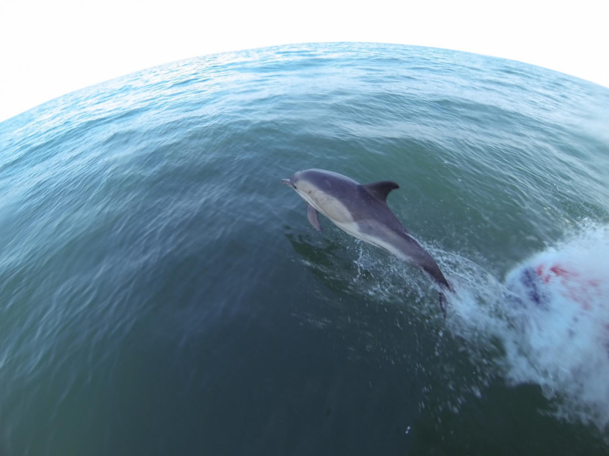 Common Dolphin Newquay Cornwall UK