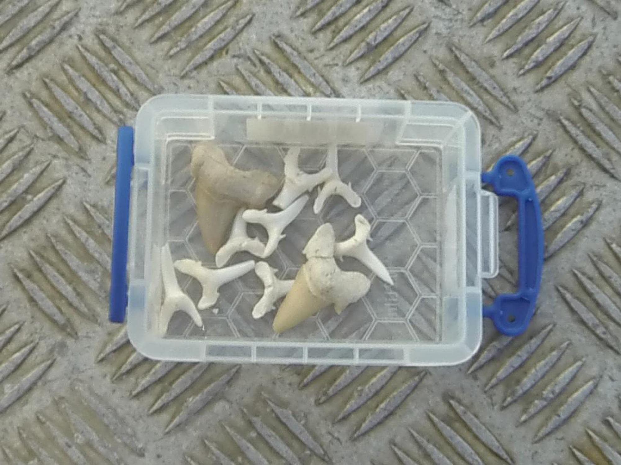 Sand tiger shark teeth and fossils of megalodon shark teeth